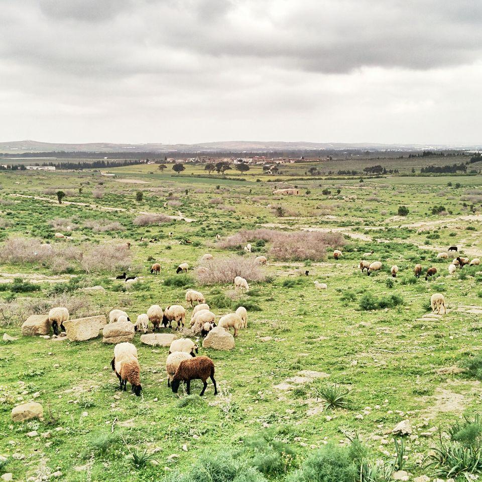 Les moutons sur les ruines ensevelies d'Uthina